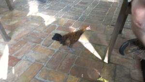 Wild chicken wandering around the Blue Heaven restaurant